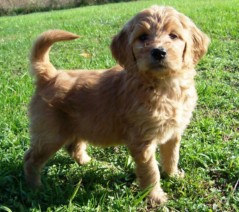 Goldendoodle Puppies For
